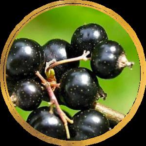 Саженец черной смородины Церера