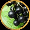 Саженец черной смородины Ядрёная: фото и описание