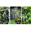 Саженец смородины штамбовой Вернисаж: фото и описание