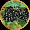 Саженец смородины Титан Черный: фото и описание