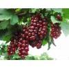 Саженец цветной смородины  Вишневая: фото и описание