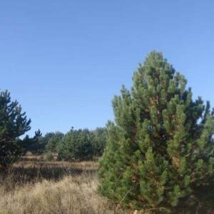 Саженец крымской сосны (15-40 см): фото и описание