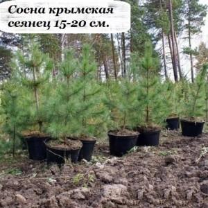 Саженец сосны крымская СЕЯНЕЦ (15-20 см.)
