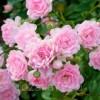 Саженец розы THE FAIRY (Зе Фэйри): фото и описание