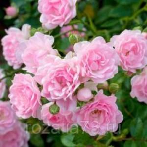 Саженец розы THE FAIRY (Зе Фэйри)