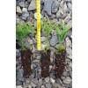 Саженец Туи шаровидной сеянец до 15 см: фото и описание