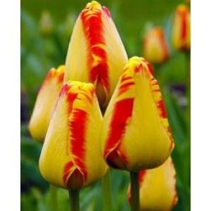 Луковица тюльпана Банья Лука