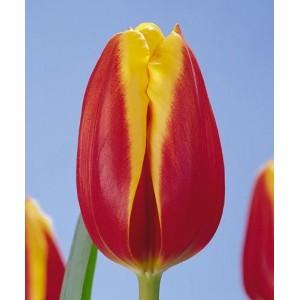 Луковица тюльпана Доу Джонс