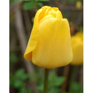 Луковица тюльпана Голден парад