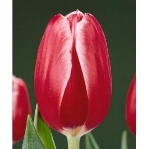 Луковица тюльпана Кунг-фу