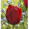 Луковица тюльпана Паллада: фото и описание