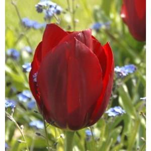 Луковица тюльпана Паллада