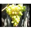 Саженец Винограда Ахиллес: фото и описание
