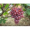 Саженец Винограда Анюта: фото и описание