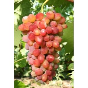 Саженец Винограда Арочный