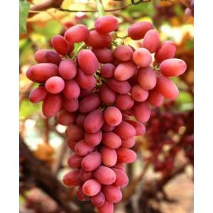 Саженец Винограда Багровый