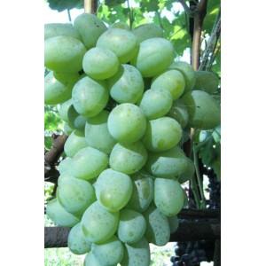 Саженец Винограда Белый Кокл