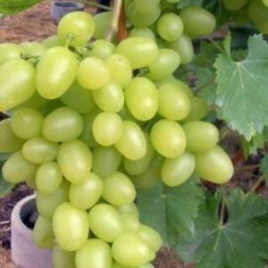 Саженец Винограда Белый Великан