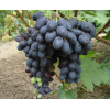 Саженец Винограда Черная Саженец Вишни: фото и описание