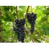 Саженец Винограда Дачный: фото и описание