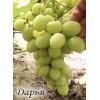 Саженец Винограда Дарья: фото и описание
