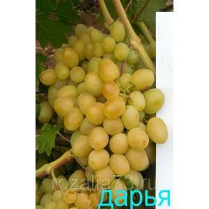 Саженец Винограда Дарья