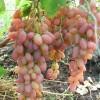 Саженец Винограда Денал: фото и описание