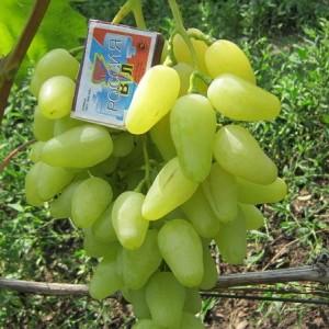 Саженец Винограда Долгожданный