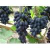 Саженец Винограда Фурор: фото и описание