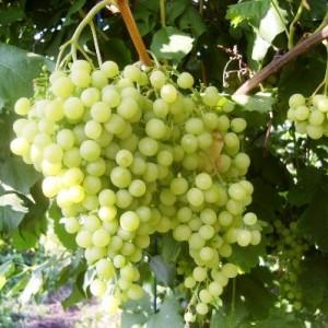 Саженец Винограда Инга
