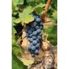 Саженец Винограда Изабелла: фото и описание