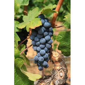 Саженец Винограда Изабелла