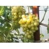 Саженец Винограда Колобок: фото и описание