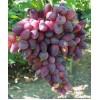 Саженец Винограда Красотка: фото и описание