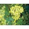 Саженец Винограда Кристалл: фото и описание