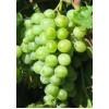Саженец Винограда Кураж: фото и описание