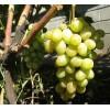 Саженец Винограда Ладанный 2: фото и описание