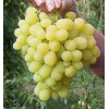 Саженец Винограда Лора: фото и описание