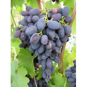 Саженец Винограда Надежда Азос