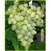 Саженец Винограда Патрик: фото и описание