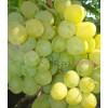Саженец Винограда Первозванный: фото и описание