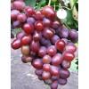 Саженец Винограда Подарок Ирине: фото и описание