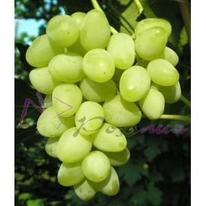 Саженец Винограда Прелесть