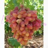 Саженец Винограда Преображение: фото и описание