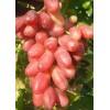 Саженец Винограда Райский: фото и описание