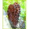Саженец Винограда Ромео: фото и описание
