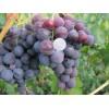 Саженец Винограда Рошфор: фото и описание