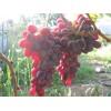 Саженец Винограда Рубиновый Юбилей: фото и описание