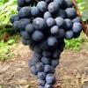Саженец Винограда Страшенский: фото и описание