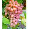 Саженец Винограда Ух-ты (шамаханская Царица): фото и описание